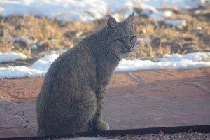 Bobcats in Eldorado